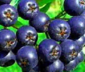 Aronia-tree-blueberry-flavored-fruit-on-shrub-size-Hardy-berry-juice-LIVE-PLANT