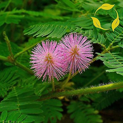 SENSITIVE PLANT Mimosa Pudica - 30+ SEEDS