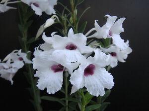 Rare-orchid-species-keiki-young-plant-Dendrobium-parthenium