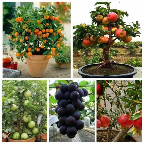 Grape Pomegranate Guava 5 seeds Each Dwarf Fruit Seeds Combo Orange,Apple