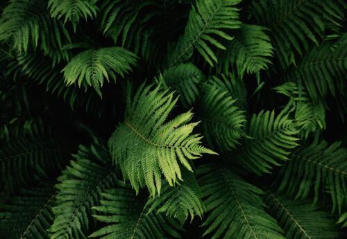 Nappes Papier peint papier peint affiches f17411 XXL Feuilles Feuille Nature Vert tüpfelfarn