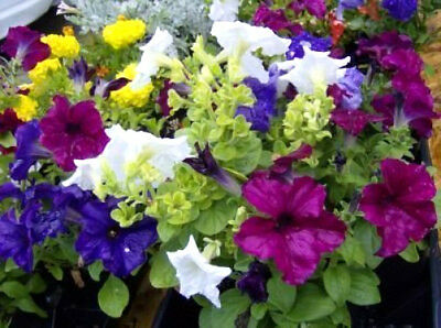 250 MIXED COLORS PETUNIA Flower Seeds + Free Gift & Comb S/H