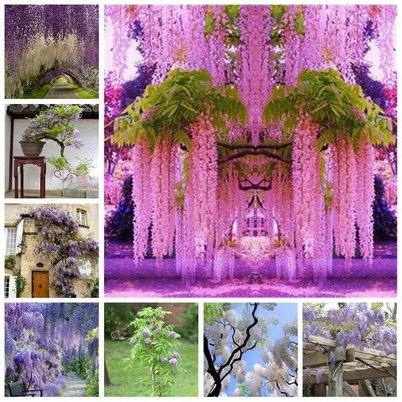 Wisteria Bonsai Seeds Plant Rare Flower Garden Ornamental Climb Rattan 2pcs For Sale Online