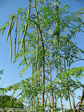 Dwarf DRUMSTICK / SAJNA - Moringa oleifera Vegetable Seeds pack of 20 Seeds