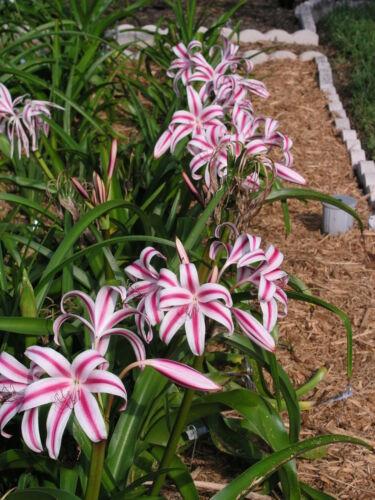 Blooming-Taglia bulbo Crinum Lily Scelta grande Stars e Strisce