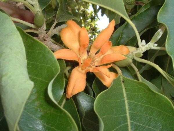 Michelia champaca - Joy Perfume Tree - Fresh Seeds