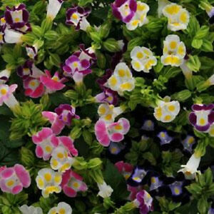 Torenia-Seeds-Kauai-Mix-Seeds-50-Pelleted-Seeds