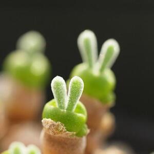 Cute-60PCS-Seeds-Succulents-Seeds-Rare-Succulent-Potted-Plants-Home-Hot-01-J