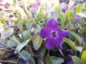 15 vinca minor atropurpurea small purple flowering in periwinkle image is loading 15 vinca minor 039 atropurpurea 039 small purple mightylinksfo