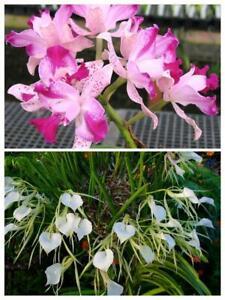 "Seedling in 2/"" Pot. Orchid Hybrid Cattleya Interglossa"
