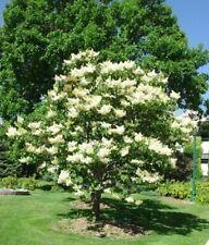 PROFUMATO GIAPPONESE LILLA TREE - 10 semi vitali