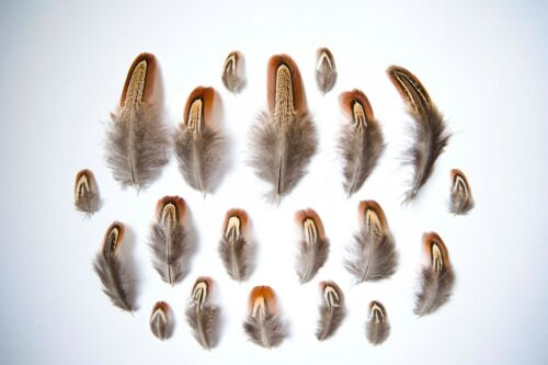 3-11cm Ethically Sourced Natural Male Pheasant Feathers Brown// Orange