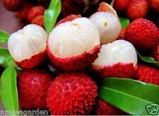 lychee, litchi, liechee,Litchi chinensis  5 seeds pack