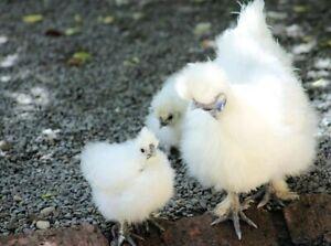 6 oeufs fécondé de poule de soie blanche