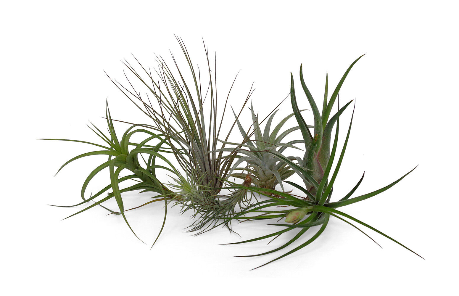 6 Pack Assorted Tillandsia Medium Size Air Plants Free Shipping