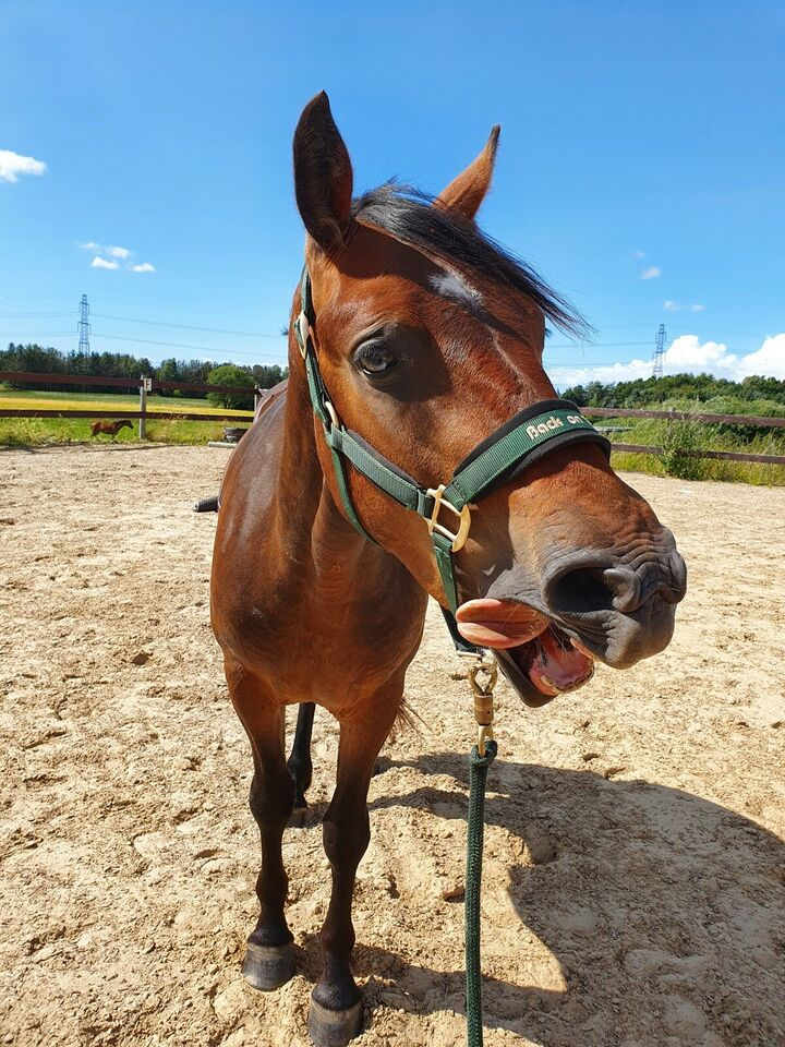 Connemara, vallak, 3 år