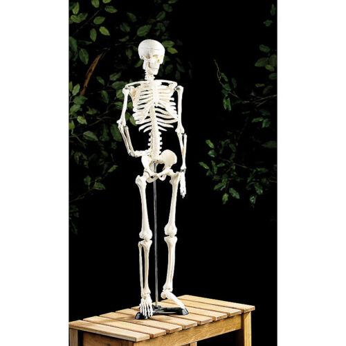 Original Lehrmittel Anatomie Skelett auf Ständer 85 cm Deko Skelett