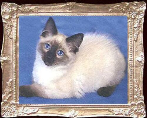 RAGDOLL KITTEN Dollhouse Picture MADE IN USA Miniature Cats FAST DELIVERY