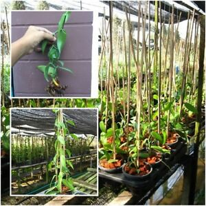 Matured vanilla cuttings Vanilla Planifolia 6 Vanilla Air Rooted plants