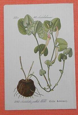 Blasse Gebärwurz Aristolochia Palliada Lithographie 1885 Pfeifenblume Reich An Poetischer Und Bildlicher Pracht