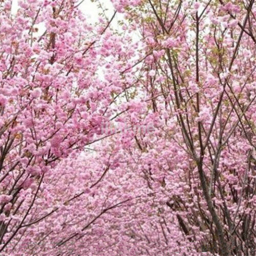 5Pcs Sakura Seeds Oriental Cherry Blossom Seeds Bonsai Plants For Home Garden GF