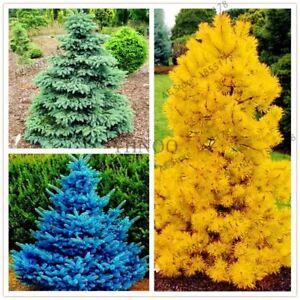 50pcs-bag-Yellow-Blue-green-Spruce-Tree-Seeds-Rare-Evergreen-Colorado-Flower-Pot