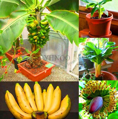200 PCS Seeds Dwarf Banana Bonsai Fruit Trees Perennial Plants Free Shipping New