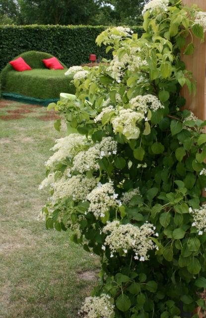 Kletterhortensie Hydrangea petiolaris 40 - 60 im Container
