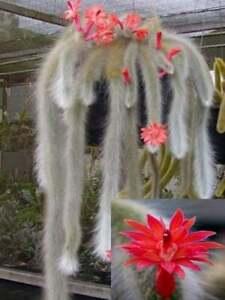 USA SELLER 25 Seeds Monkey Tail Cactus Flower Plants Garden Planting 25 Pack