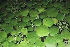 5 Portionen Froschbiss je 10 Stk. Limnobium leavigatum