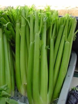 1000 TALL UTAH CELERY Apium Graveolens Vegetable Seeds