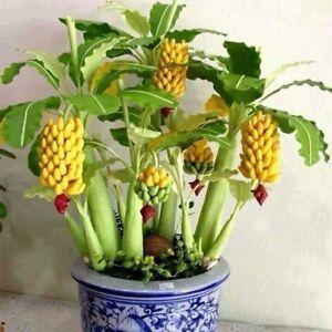 100X-Zwerg-Bananenbaum-Samen-Mini-Bonsai-Pflanze-Seltene-Garten-Obst-Saatgut-FS
