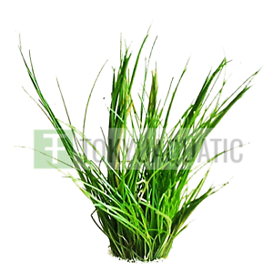 Dwarf-Hairgrass-Bundle-Eleocharis-Parvula-Freshwater-Live-Aquarium-Plant-Clumps
