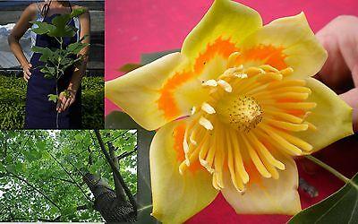 10 x albero di tulipano Liriodendron TULIPIFERA semi.