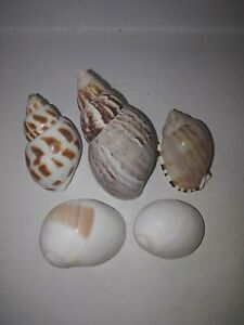 Hermit-crab-sea-shell-pack-5-assorted-3-3-5cm-openings-Collection-beach-2