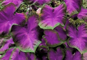 Rare Purple Elephant Ear Bulb Plant Tropical Caladium Perennial