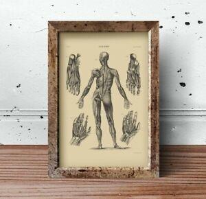 Anatomy-Medical-Illustration-Muscles-Tendons-Digitally-Restored-Print-1878