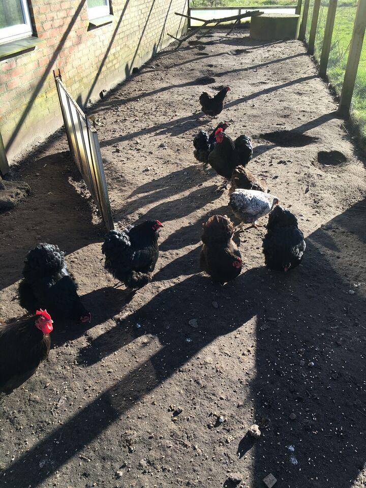 Kyllinger, 13 stk.