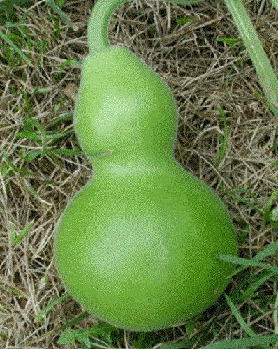 20 BIRDHOUSE GOURD Hard Shelled Calabash Seeds *CombS/H