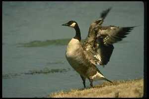 008104-Canada-Goose-A4-Photo-Print