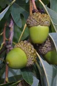 White-Oak-Tree-Deer-Food-Acorn-Nut-Established-Rooted-1-Plant-in-1-Gallon-Pot