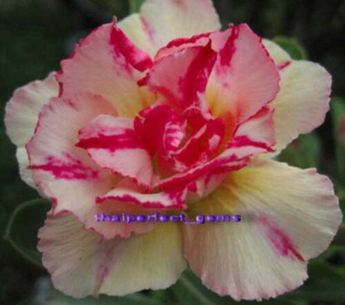 """Adenium Obesum DESERT ROSE /""""pinkgold/"""" 100 graines"""