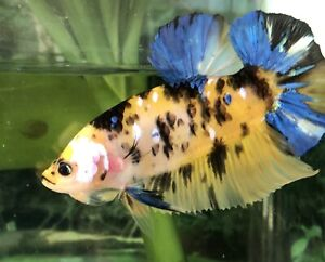 """betta fish giant yellow and blue koi high quality (size 2""""BO)"""