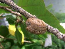 2 Real Live Praying Mantis Egg Case Ootheca Natural Pest Control
