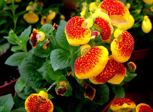 30 Calceolaria Seeds Calceolaria herbeohybrida Slipperwort Garden Flowers