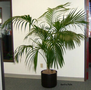 einer der besten zimmerpflanze kentia palme howea forsteriana 10 feinste samen ebay. Black Bedroom Furniture Sets. Home Design Ideas