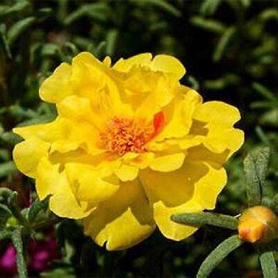 500 Portulaca Seeds Moss Rose Yellow Portulacea FLOWER SEEDS