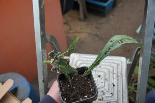 "Epiphyllum Blattkakteen Epicactus /""Shauna/"" Jungpflanzen"