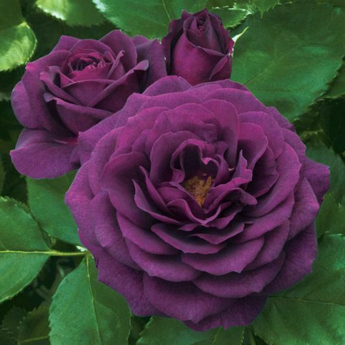Rosa Ebb Tide™ no roots 3 cuttings for propagation