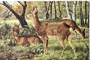 19599-Kuenstler-AK-Hirsch-und-Reh-signiert-um-1914-PC-hunting